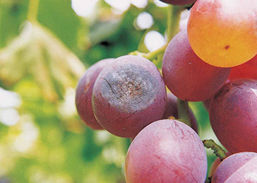 Grape_Disease_01_Anthrax