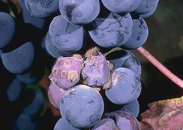 Grape_Disease_06