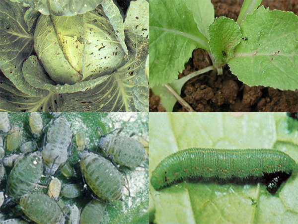 Kimchi_Cabbage_Disease_Insects