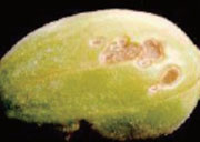 Korean_Melon_Disease
